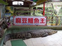 珍重再見! 特訪40年麻豆鱷魚王道別之旅